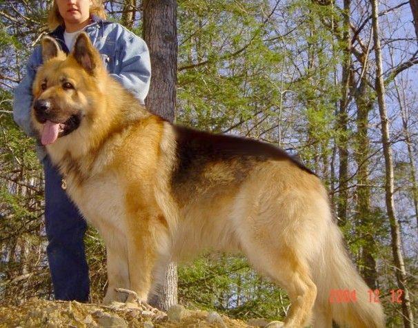 Large King Size German Shepherds Big German Shepherd Dogs Of