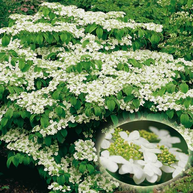 Viburnum plicatum 'Watanabe' - Maréchal