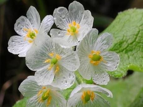 diphylleia grayi une fleur rare transparente par nature. Black Bedroom Furniture Sets. Home Design Ideas