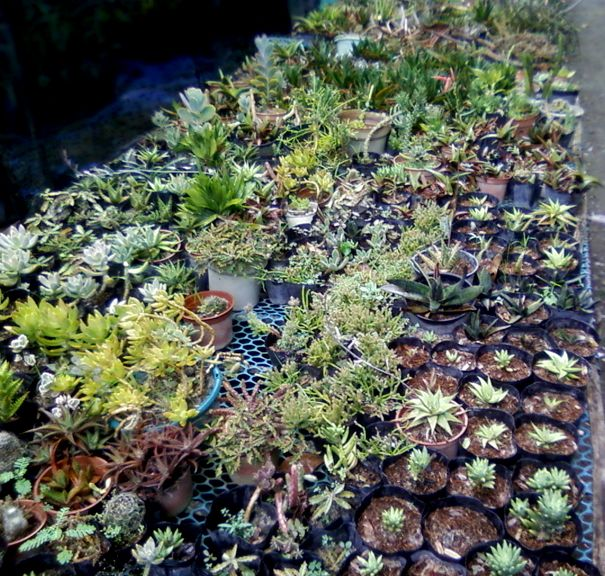 Cactus succulent plantation iloilo city philippines for Philippine garden plants