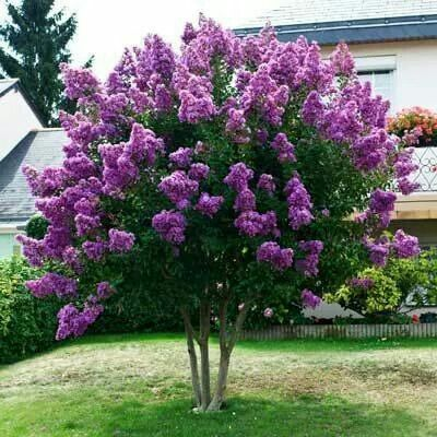 ...This is a double winner, purple and a crepe myrtle one of my favorites.