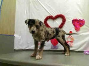 A418122 Urgent Gorgeous Puppy Is An Adoptable Catahoula