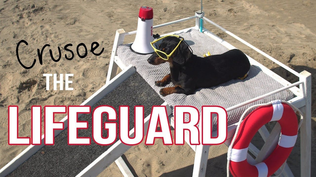 Ep crusoe the dachshund lifeguard funny dog at the beach for