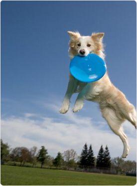 63e3be8464847f8744702cd03c04d91b dog frisbee = exercise awesomeness thepromiseau healthy living