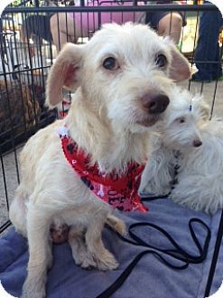 Lodi Ca Jack Russell Terrier Wirehaired Fox Terrier Mix Meet Benji A Dog For Adoption Wirehaired Fox Terrier Jack Russell Terrier Fox Terrier