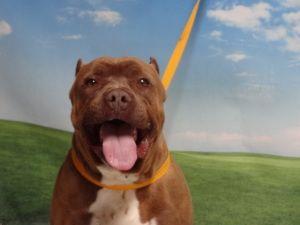 Petfinder Adoptable Dog Cane Corso Mastiff Tucson Az Oso Dog Adoption Cane Corso Dogs