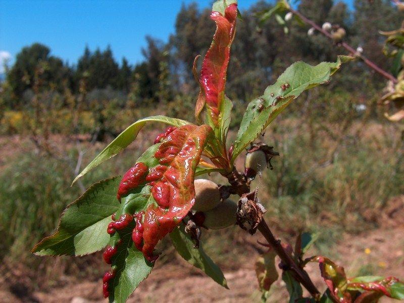 Comment Lutter Contre La Cloque Du Pecher Arbre Fruitier