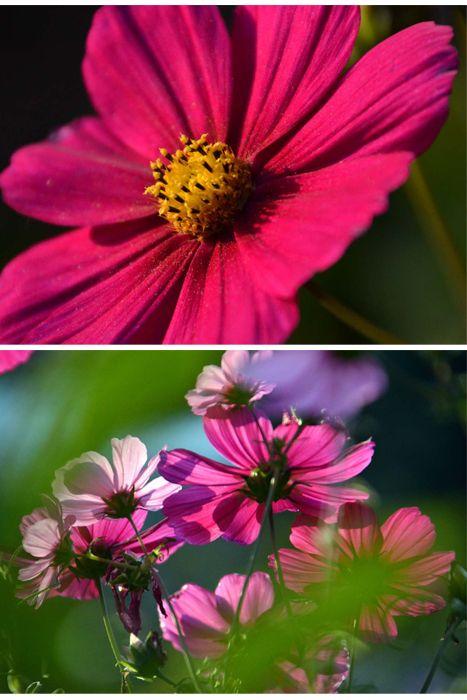 Lila im Garten -Kosmeen