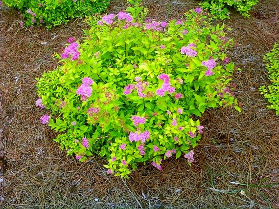 Spirea goldmound attracts butterflies border shrub for Low maintenance border shrubs