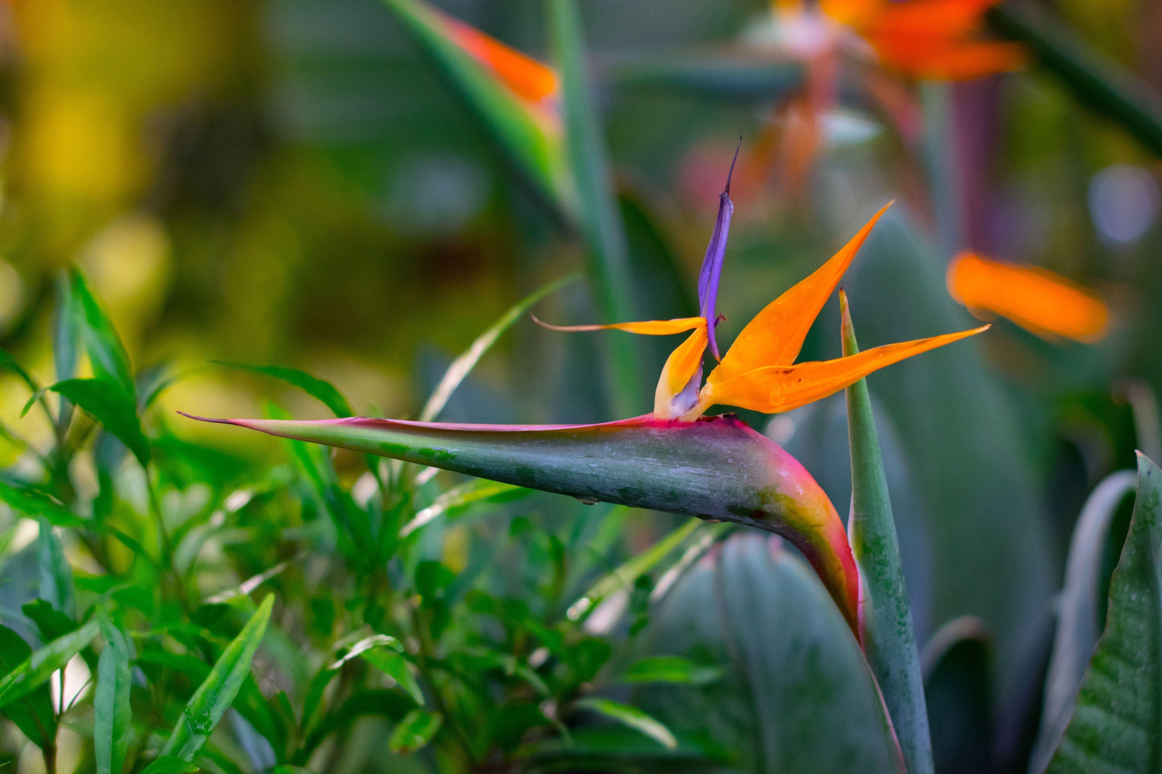 Grow The Beautiful Tropical Bird Of Paradise Plant With These Tips Birds Of Paradise Plant Paradise Plant Birds Of Paradise Flower