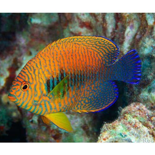 Potter S Angelfish Hawaii Centropyge Potteri Marine Fish Angel Fish Sea Fish