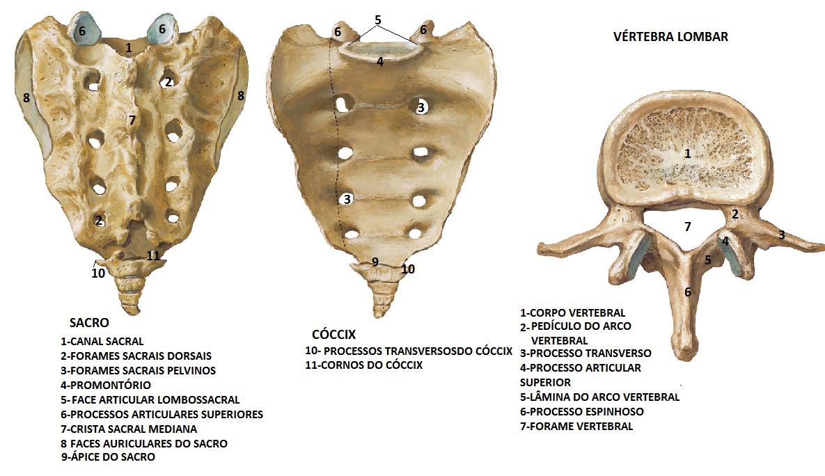 ESTUDOS ÁREA DA SAÚDE - Sara Dall\'Alba: Coluna vertebral | Medicina ...