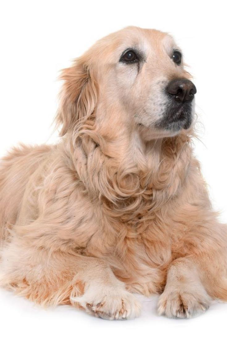 Golden Retriever Images Puppy Dog
