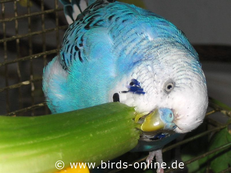 Fresh Vegetables Healthy Nutrition For Budgies Budgies Budgies Bird Love Your Pet