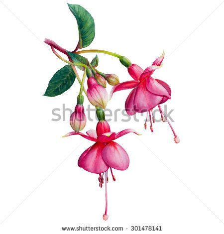 f3b788f57 Find fuchsia Stock Images in HD and millions of other royalty-free stock  photos, illustrations, and vectors in the Shutterstock collection.