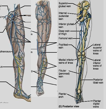 Posterior Thigh Veins Health Pinterest Thighs And Medical