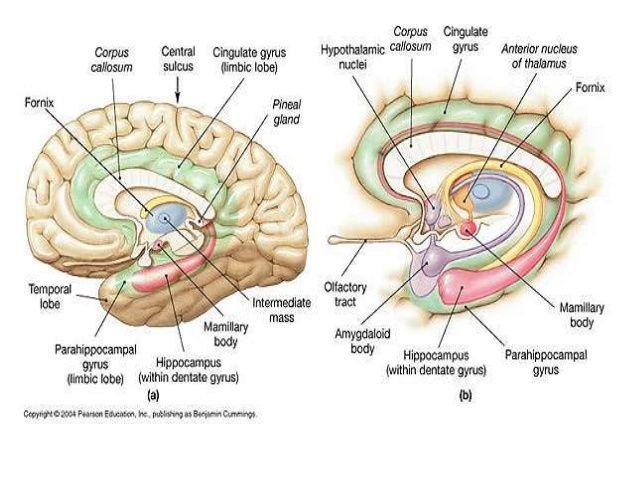 Image result for hippocampal formation | Anatomy, Medical ...