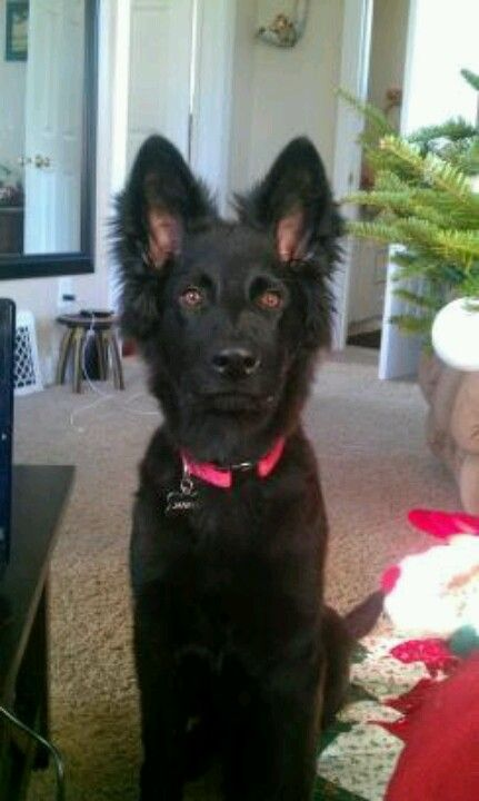 5 Month Old Black German Shepherd Again With The Ears Stop