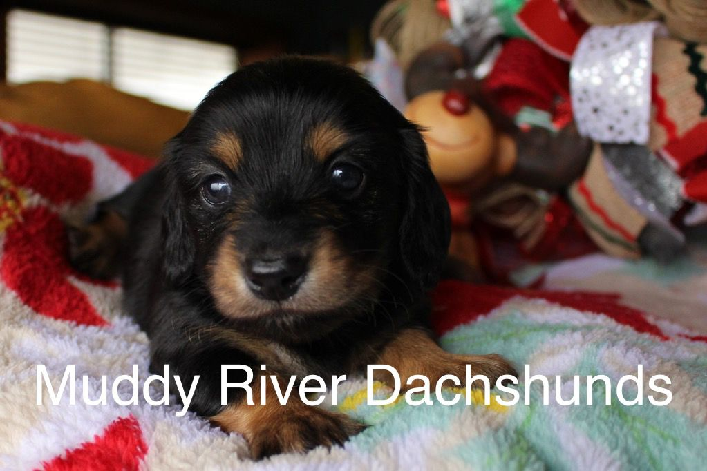 Black And Tan Miniature Dachshund Puppy Dachshund Puppy Miniature Weenie Dogs Dachshund Puppies For Sale