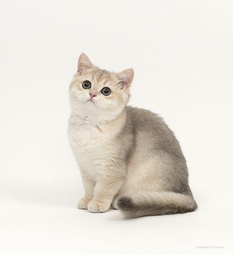 Kaori De Maneki Neko 14 Weeks Old Female Blue Golden Shell British Shorthair Cattery Maneki Neko Hewan