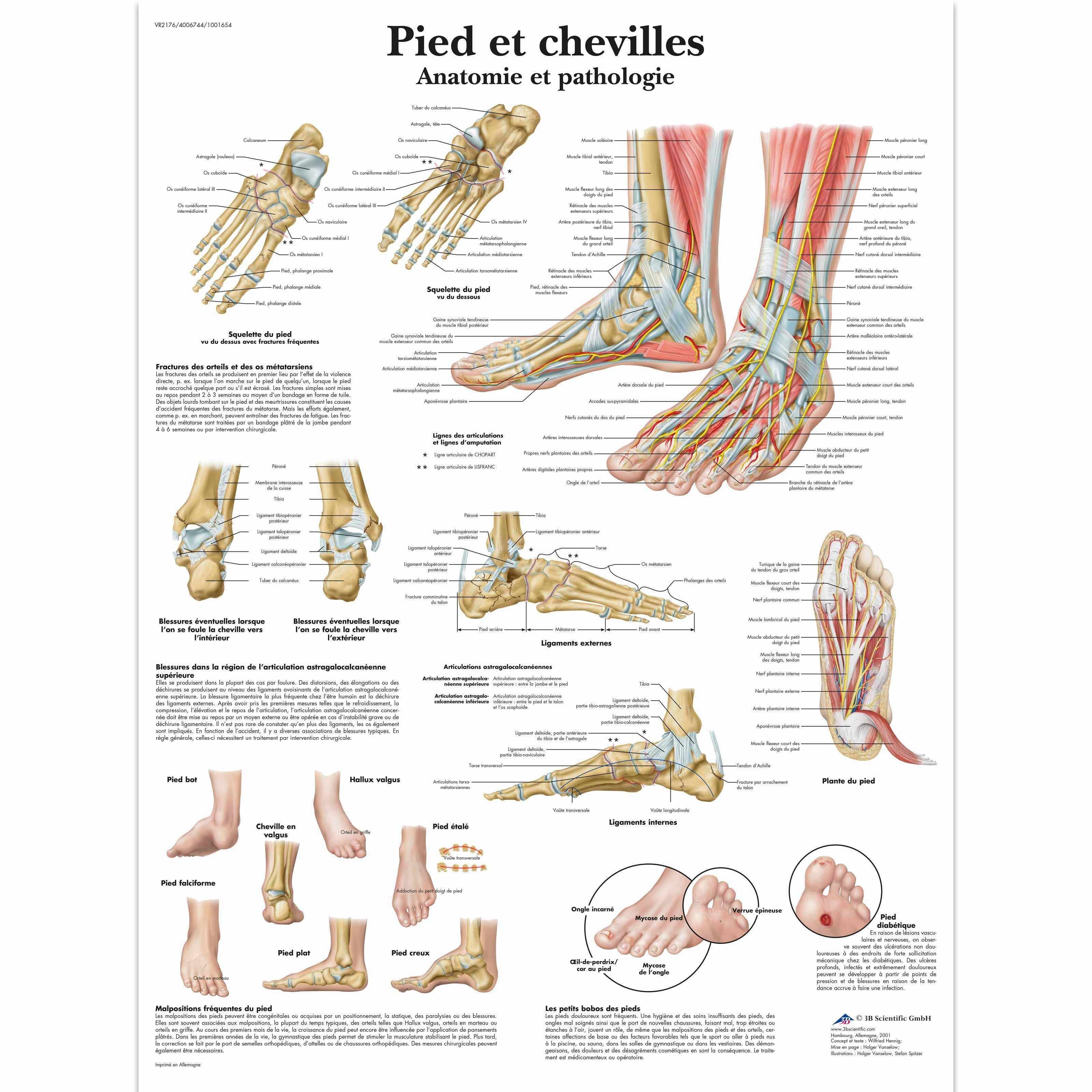 Pied et chevilles - Anatomie et pathologie