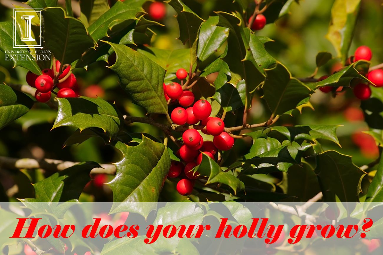 Want to add holly to your yard for a touch of the holidays and red berries year round, follow these tips.