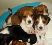 Sunshine Acres Beagle Puppies Perros