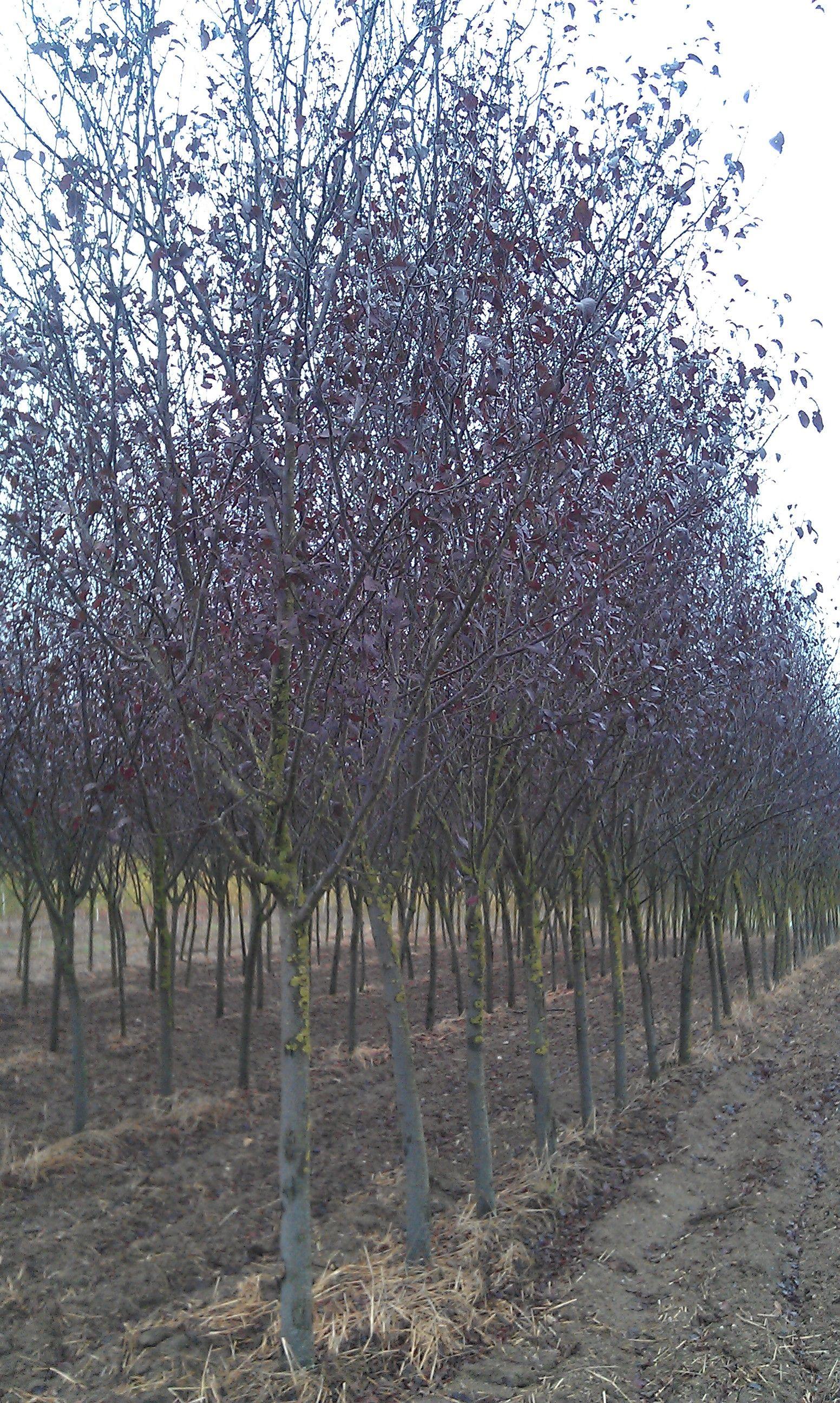 Prunus pissardii o árbol de ciruelo rojo