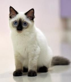 She Is Cute This Is Bear Ragdoll Kitty Kittens Cutest Cats Cute Cats