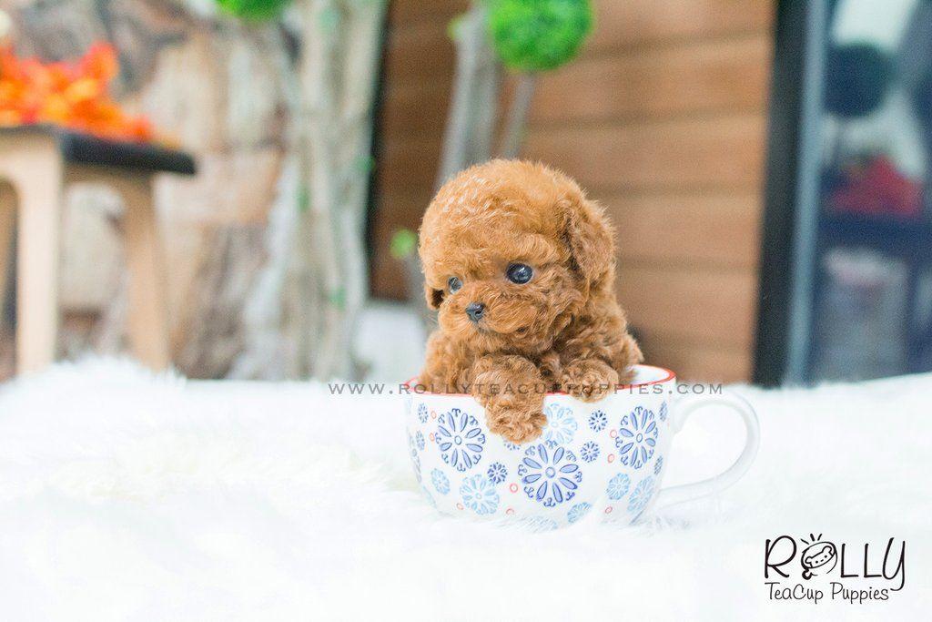 Wendy Poodle F Teacup Puppies Teacup Poodle Puppies Teacup