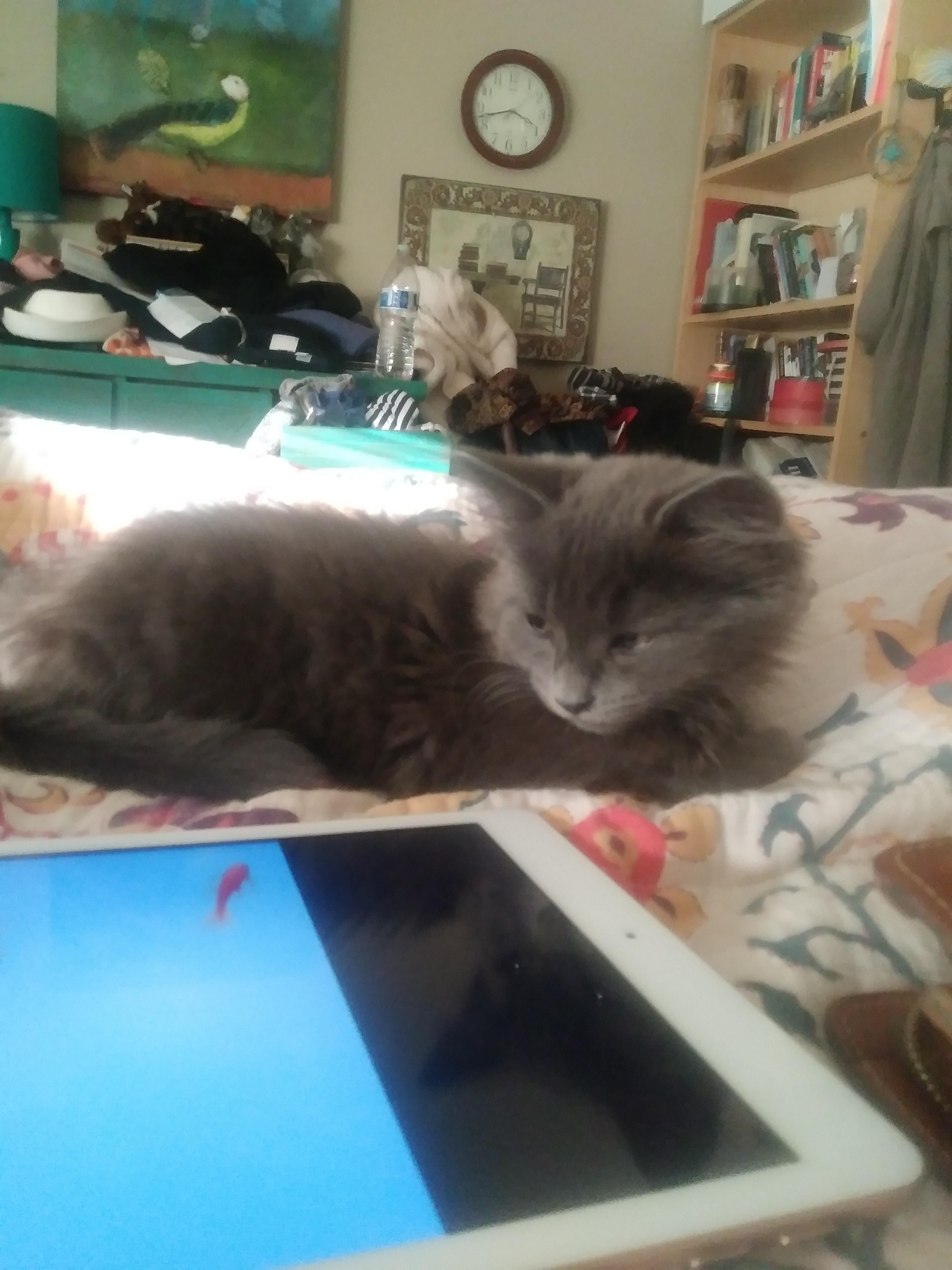 New kitten is in need of a name Hes a ScottishAngora mix and has a very Ash color