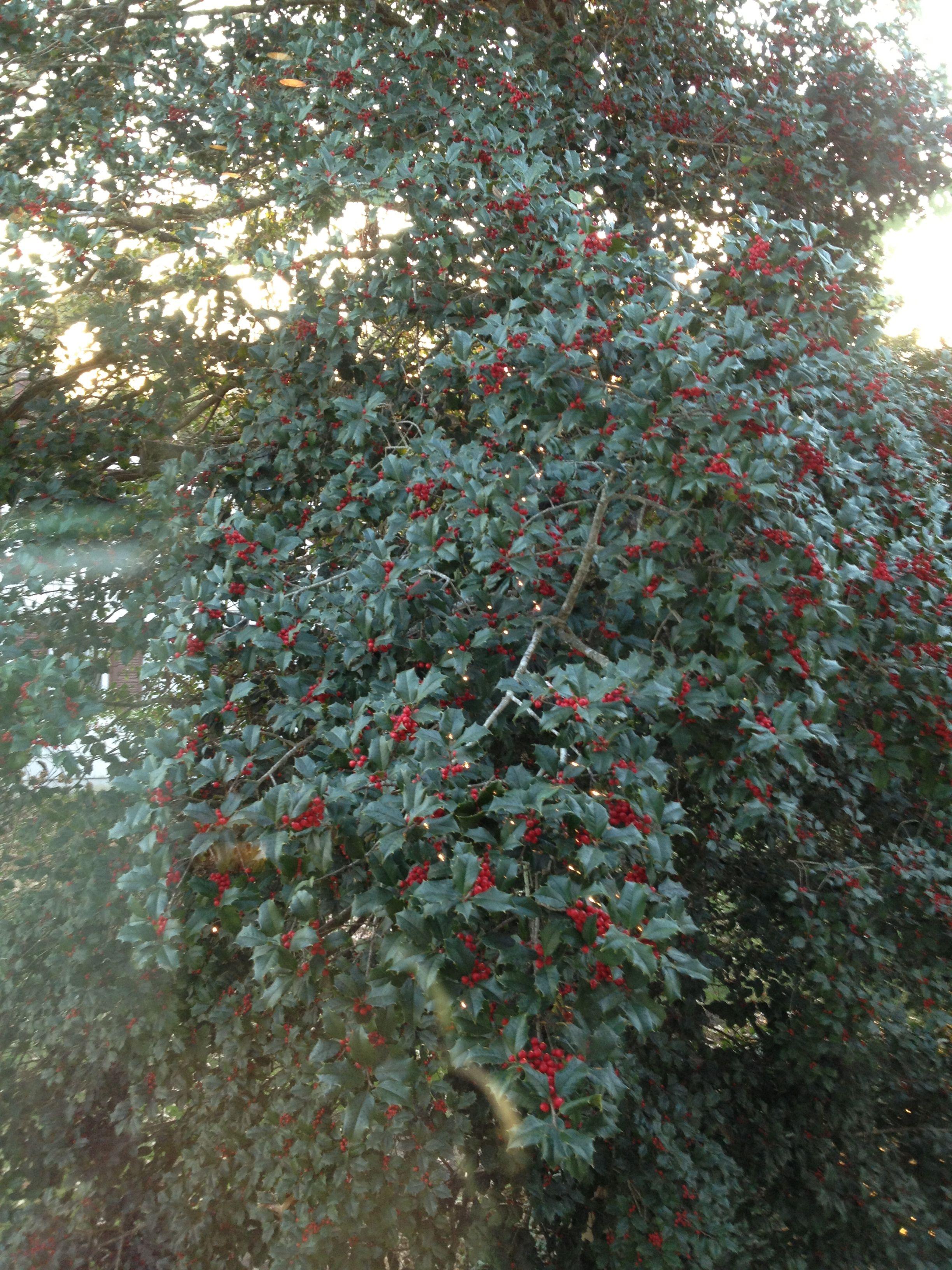 Beautiful Holly Tree Linwood Nj Holly Tree Holly Plants