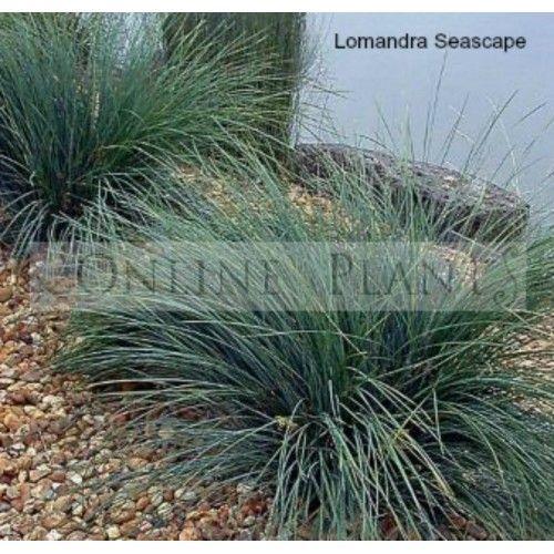 extremely popular in modern plantscaping  fantastic plant for modern australian gardens