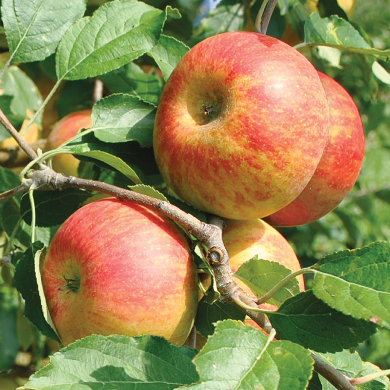 Classic English Apple Tree Was Discovered As A Chance Seedling And Has Inspired Apple Lovers Ever Since Upright Tree With A Spre Apple Tree Fruit Fruit Trees