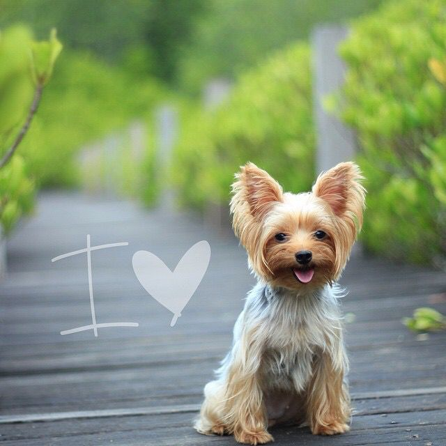 I Love Her Goldie Love Pet Beloved Dog Yorkie