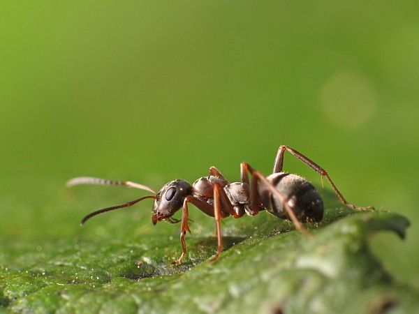 Emp cher les fourmis d 39 envahir la maison les beaux jours arrivent et les fourmis avec les - Bicarbonate de soude fourmis ...