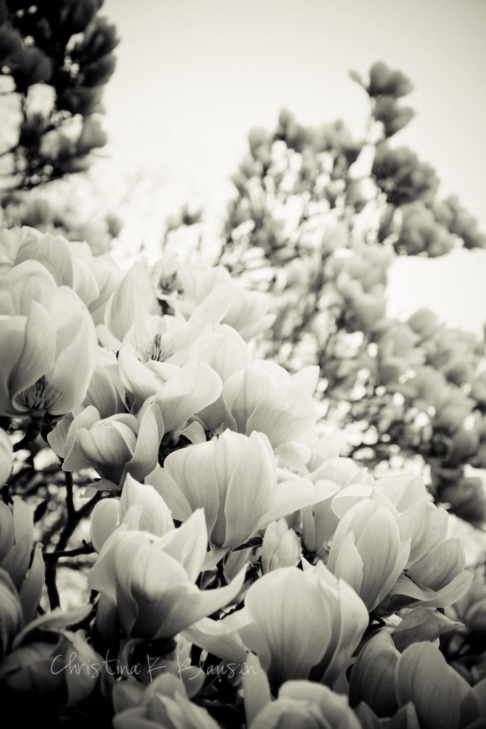 Soft Black And White Flowers Flower Photography Magnolia Tree