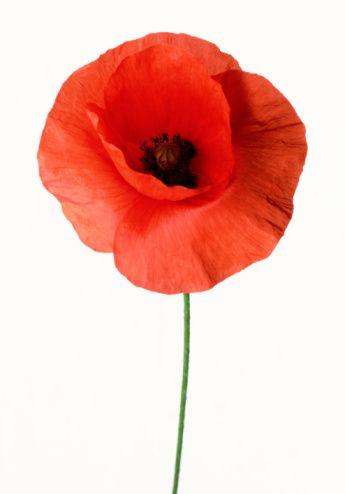 A poppie red poppies pinterest flowers pretty flowers and poppies a poppie poppy flower meaning meaning of flowers poppy tattoo meaning red poppies mightylinksfo