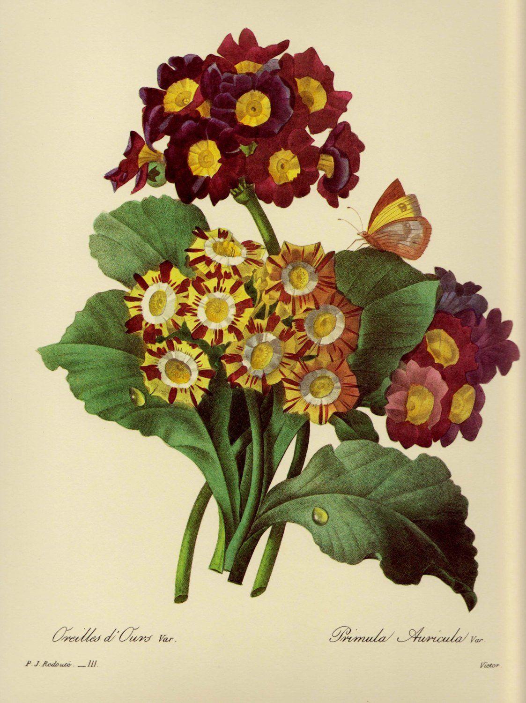 Garden wall art flowers  Vintage Redoute Primula Bouquet Print Purple Flower Botanical Print