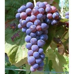 Tafel-Trauben »Venus«, Weinreben, kernlos, sehr ertragreich, 300 - 750 cm Wuchshöhe