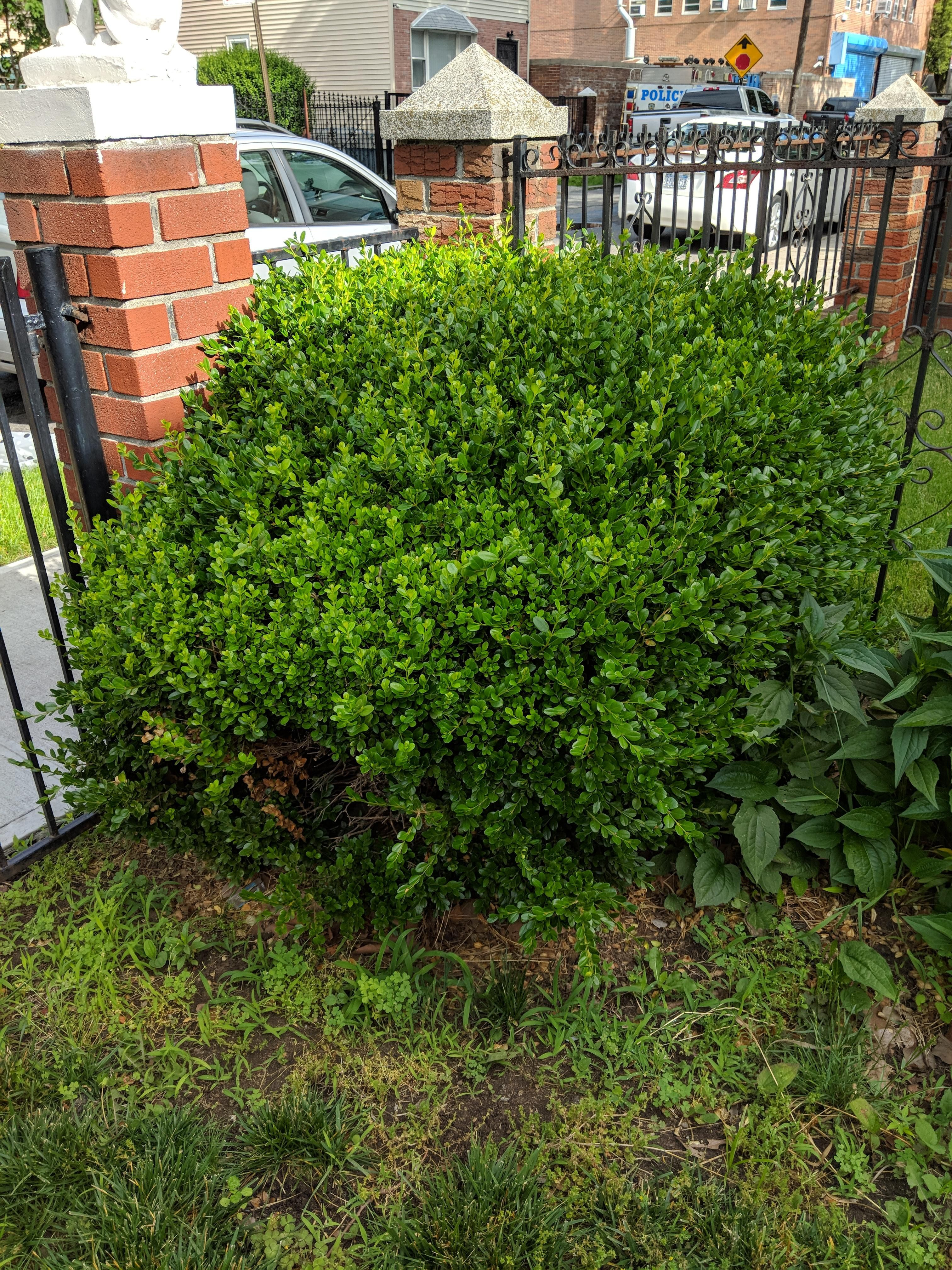Can Anyone Id This Bush For Me Zone 7 Nyc