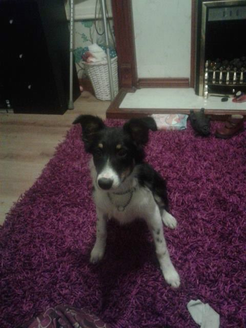 Border Collie Free On Gumtree 7 Months Old Border Collie Pup His