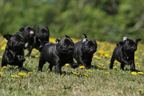 Herd Of Black Pugs Pug Puppies Cute Pugs