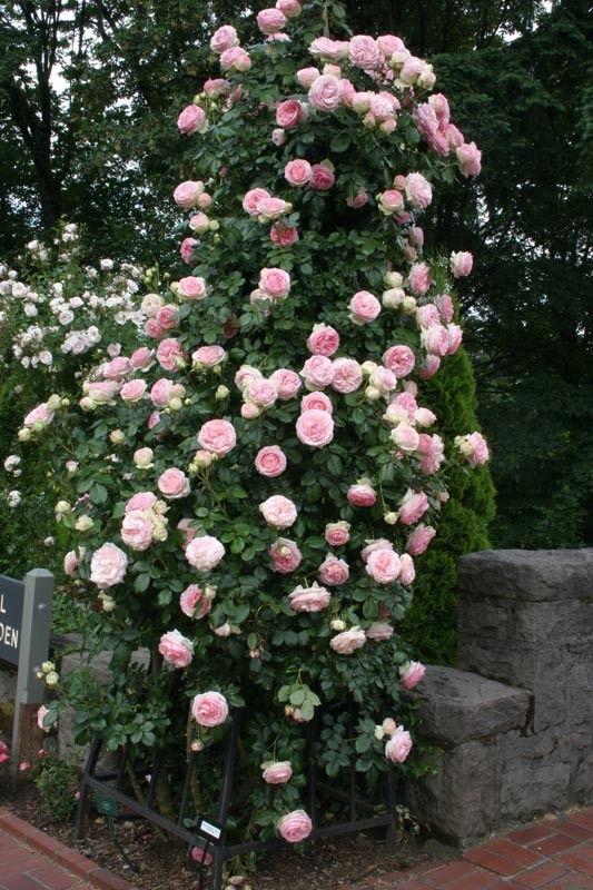 Eden Climbing Roses Climbing Roses For Shade Heirloom