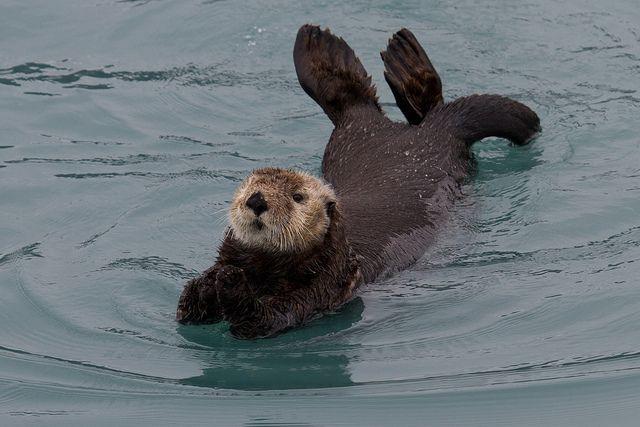 sea tour, seward, AK summer 2010 photo credit: sea otter, Kenai Fjords, Seward, AK, 2010-09-19 (15 of 21).jpg by maholyoak, via Flickr