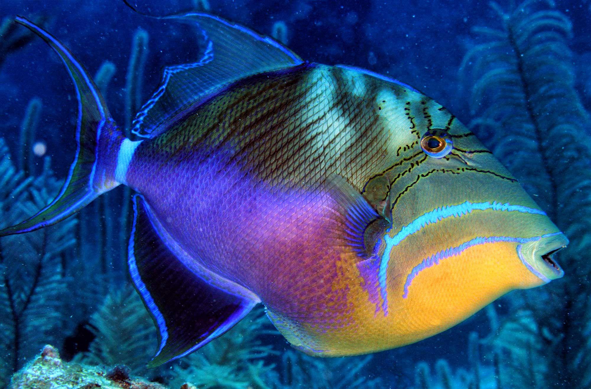 Trigger Fish Belize Ocean Creatures Saltwater Fish Tanks Sea