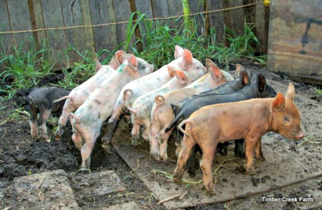 How to Raise Pigs Naturally on a Small Farm Pig farming