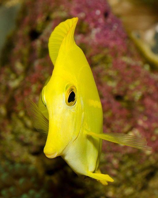 National Aquarium - Yellow Tang