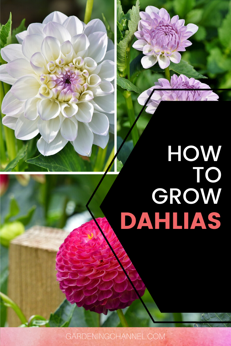 How To Grow And Overwinter Dahlias In 2020 Growing Dahlias Flower Garden Plants