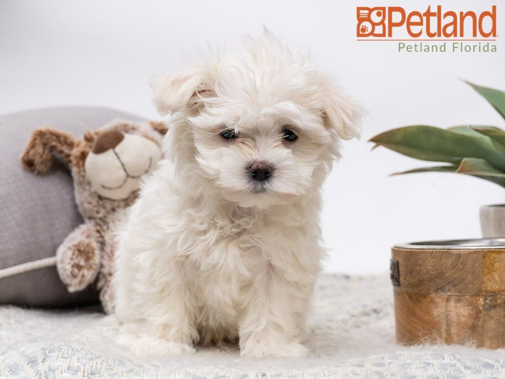 Puppies For Sale Maltese Puppies For Sale Puppies Dog Lovers